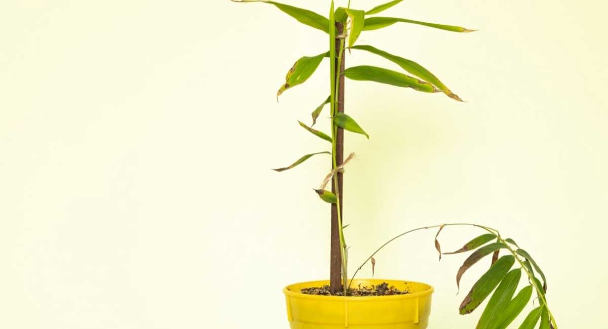 Select the Best Bamboo for Pots to Get Started