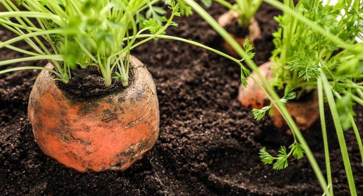 The Best Fertilizer for Carrots