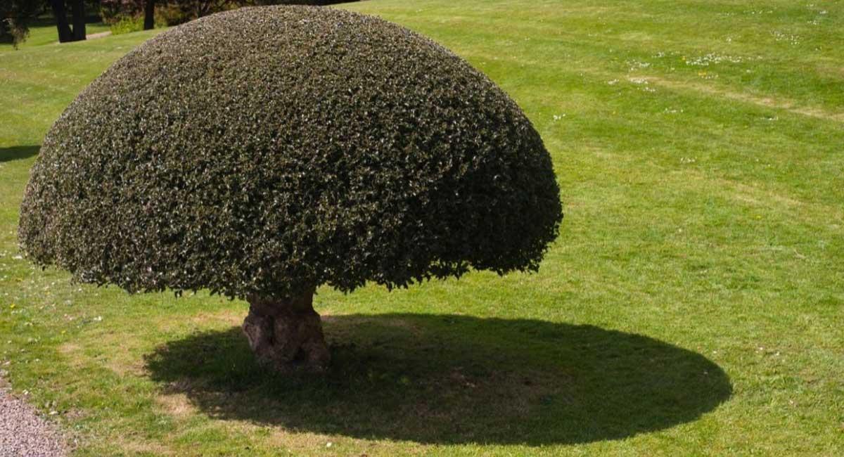 Ornamental Miniature Trees